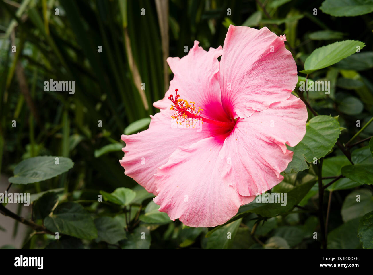 Pink hibiscus flower in the tropical biome at Eden Cornwall - Stock Image