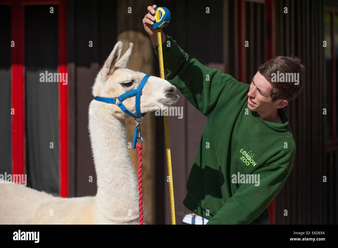 London Zoo, London UK. Thursday 21st August 2014. A Llama at ZSL London Zoo's annual weigh-in 2014. As well as being - Stock Image