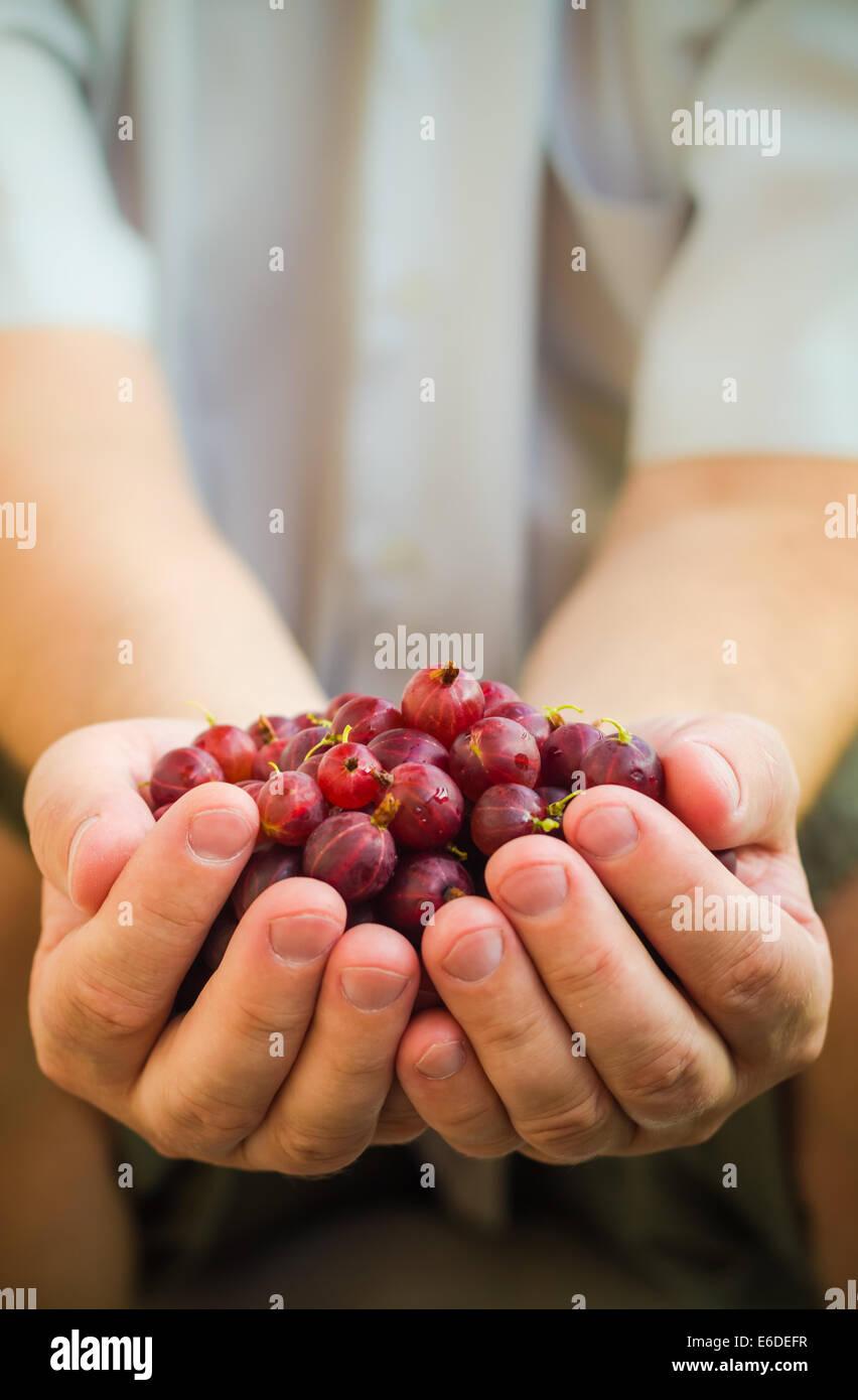 Male hands holding fresh air gooseberry fruit - Stock Image