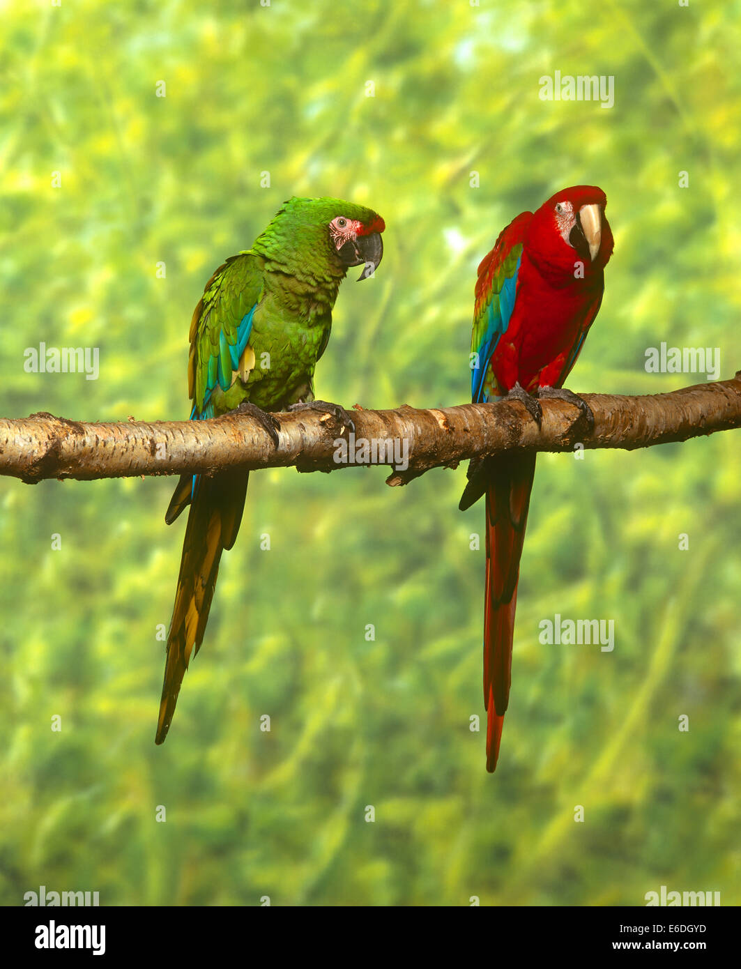 two macaws sitting on a branch - Stock Image