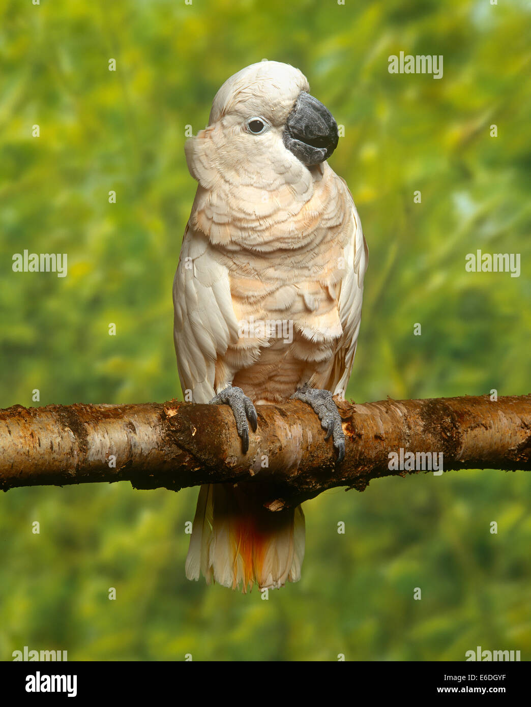 Cockatoo sitting on a tree branch - Stock Image