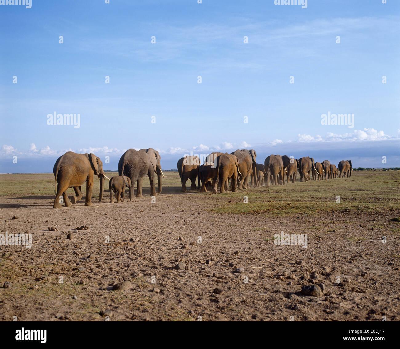 elephant herd - Stock Image