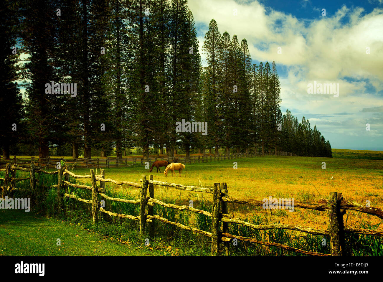Horse in pasture with fence and Cook pines.Lanai, Hawaii - Stock Image