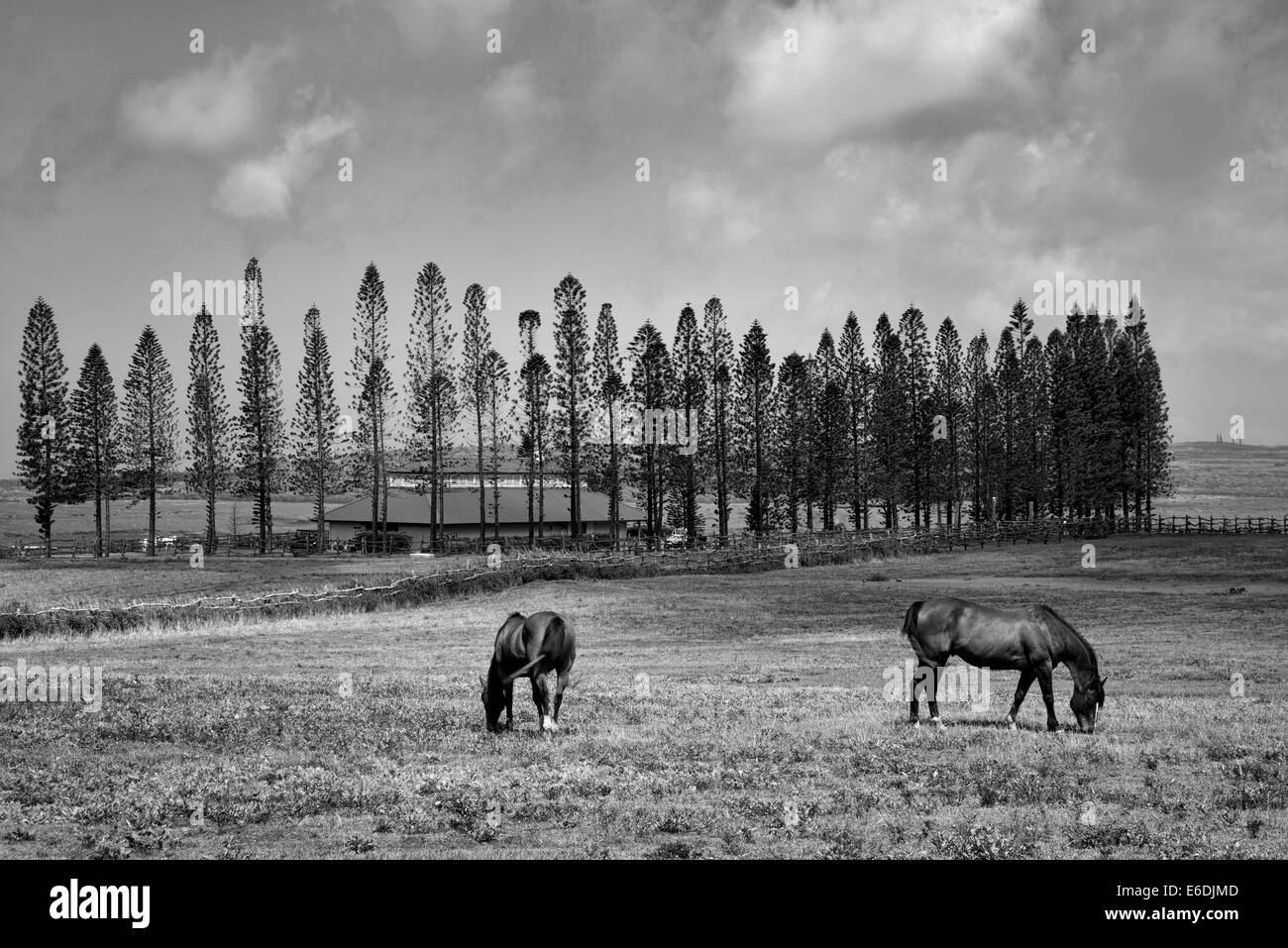 Horses grazing in pasture with barn, stables at Koele, and  Cook Pines. Lanai, Hawaii. - Stock Image