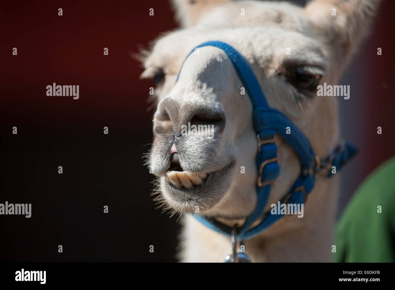 London Zoo, London UK. Thursday 21st August 2014. A Llama at London Zoo's annual weigh-in 2014. As well as being - Stock Image