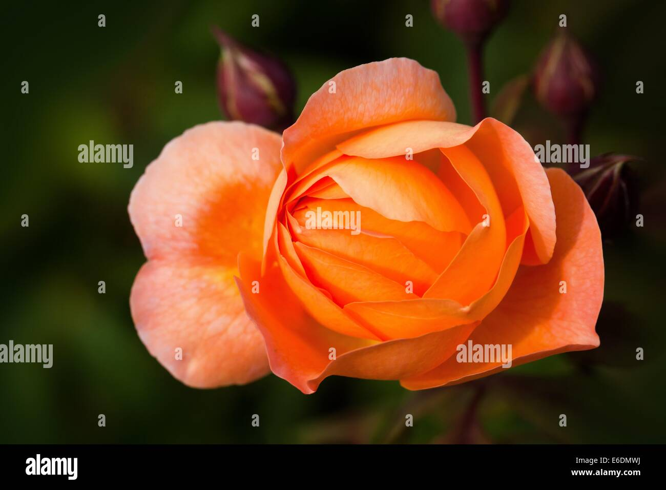 rose rose family rosaceae composites flowers bud - Stock Image
