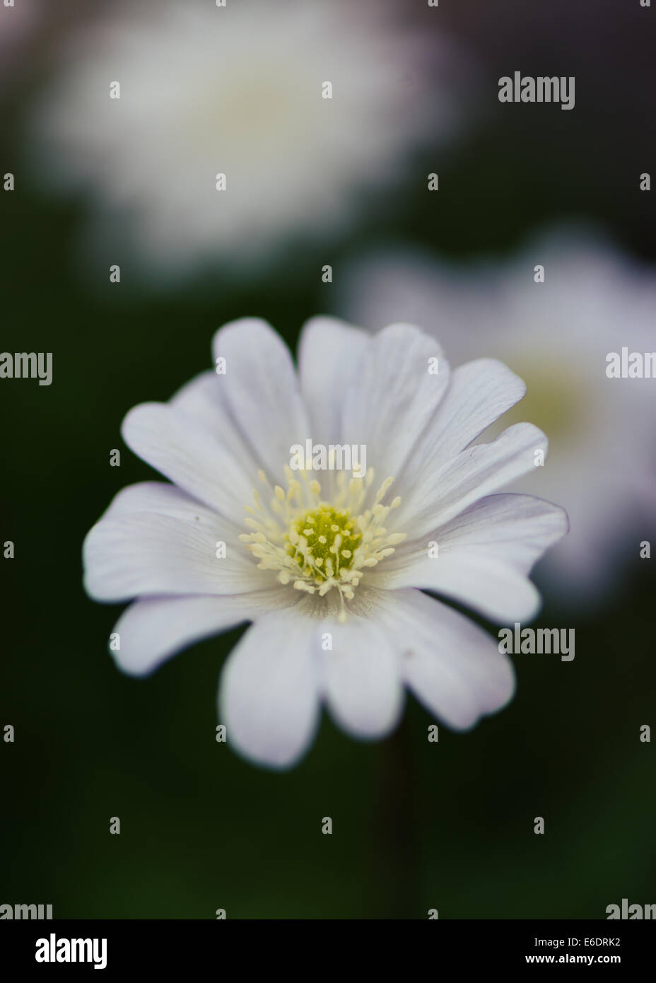 White Alpine Flower Stock Photos White Alpine Flower Stock Images