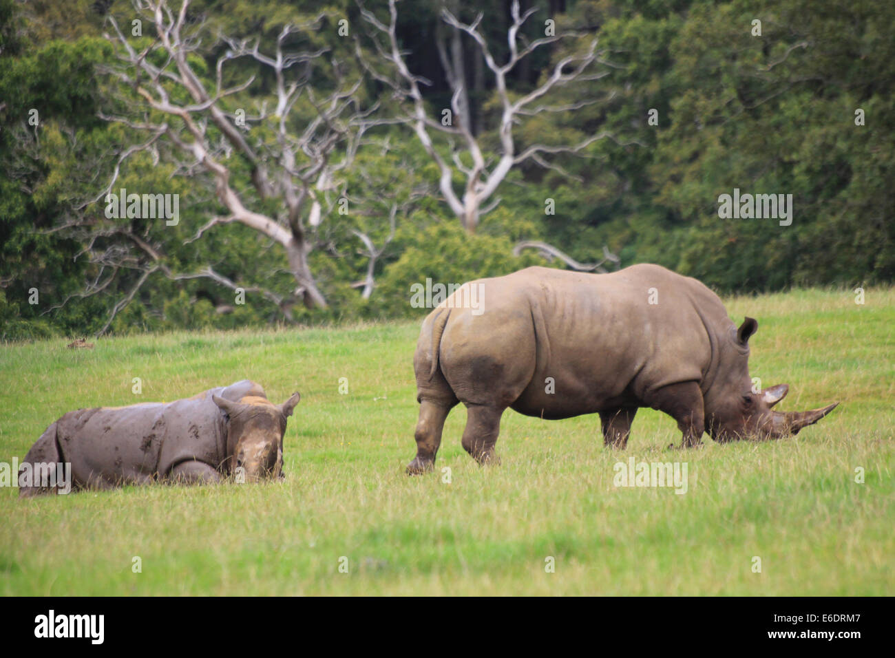 A mature and juvenile Southern White Rhinoceros on a field of grass. - Stock Image