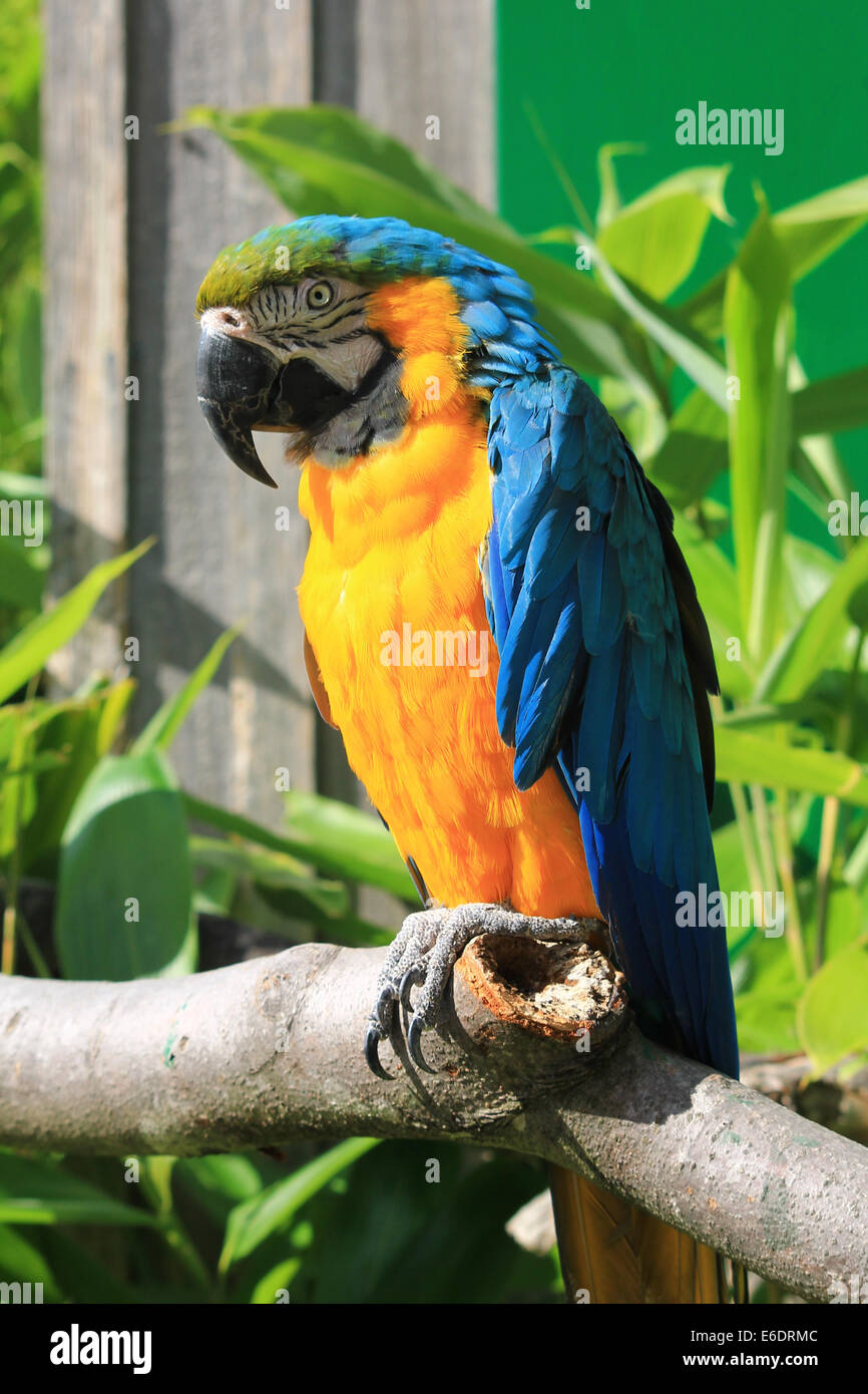 A blue and yellow (gold) macaw parrot on a branch with foliage in the background. - Stock Image