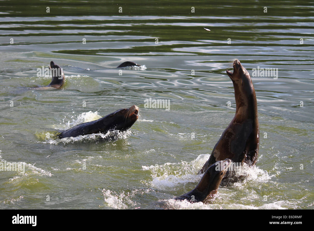 Californian Sea Lions swimming for food with one leaping out to catch a fish. - Stock Image