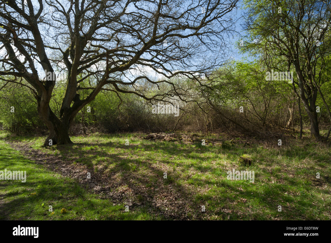 A clearing among the blackthorn scrub of Glapthorn Cow Pastures a nature reserve that is home to nightingales, near - Stock Image