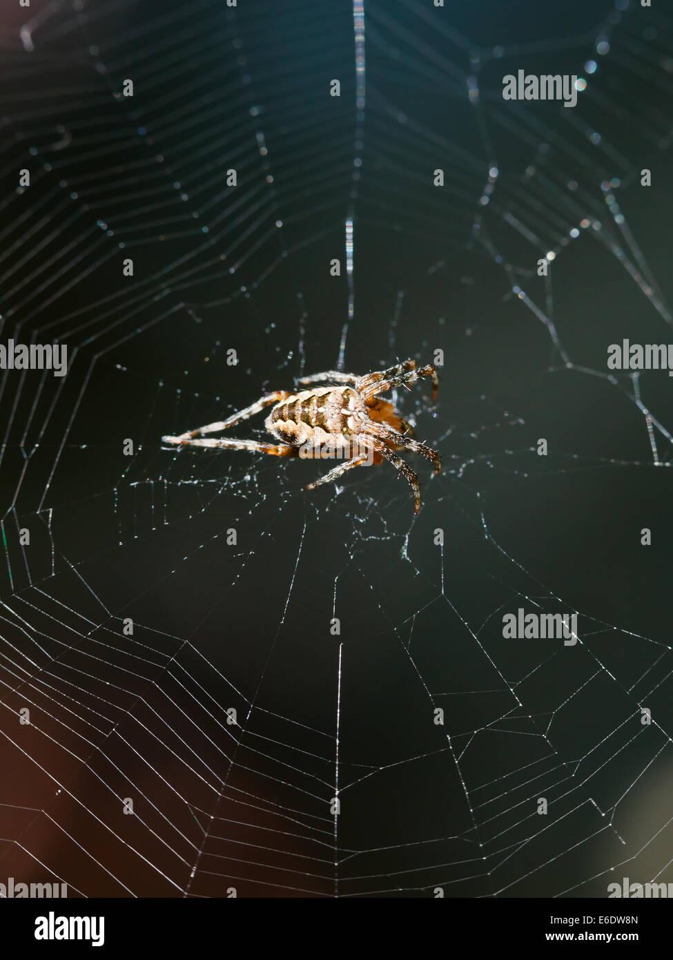 European garden spider on spiderweb close up outdoors - Stock Image