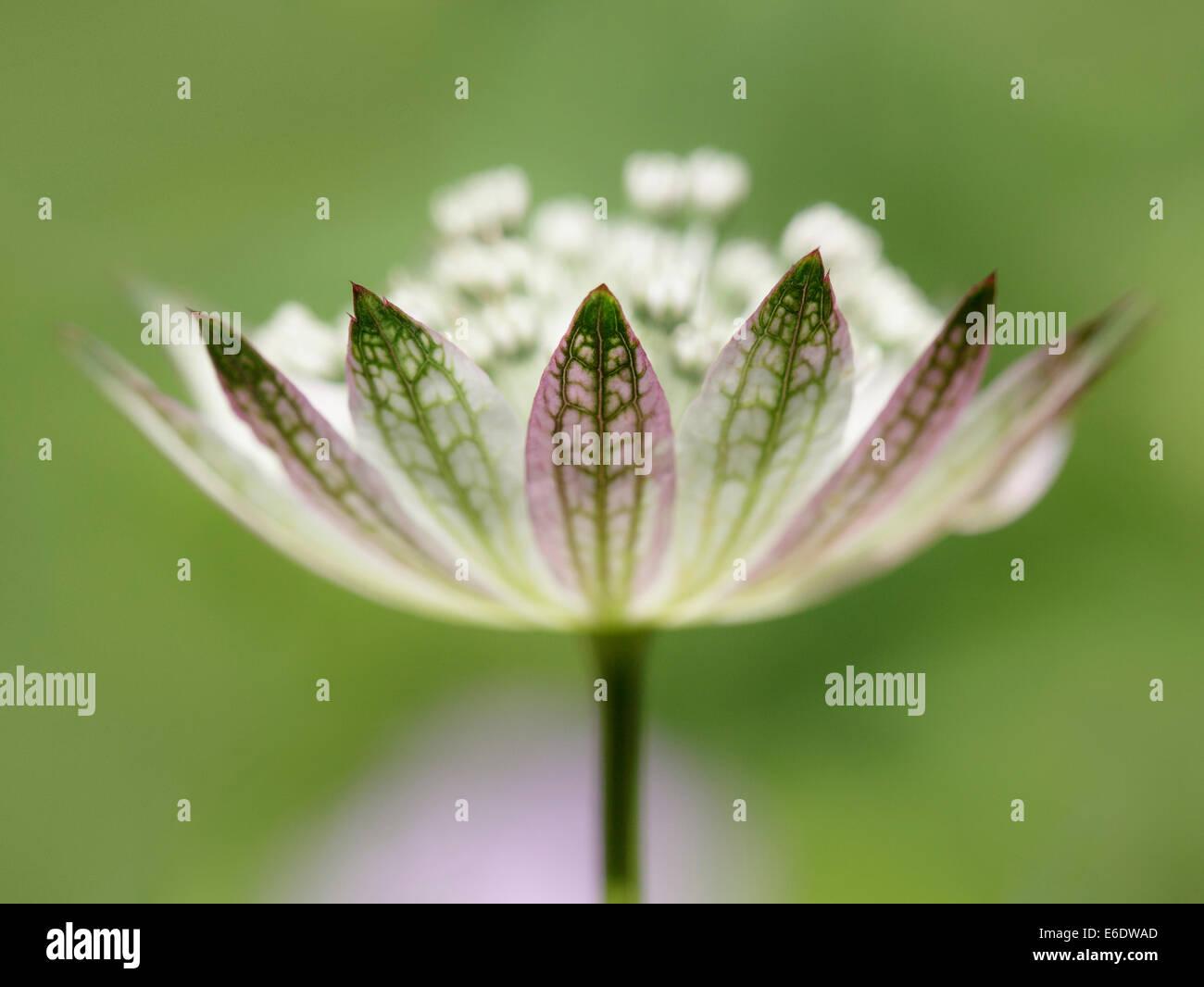 Close up of a Astrantia Major - Stock Image