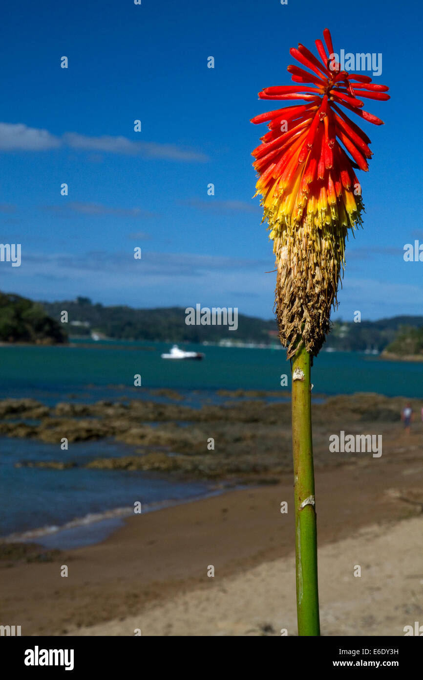 Tritoma or Torch lily at Bay of Islands at the town of Paihia, North Island, New Zealand. - Stock Image