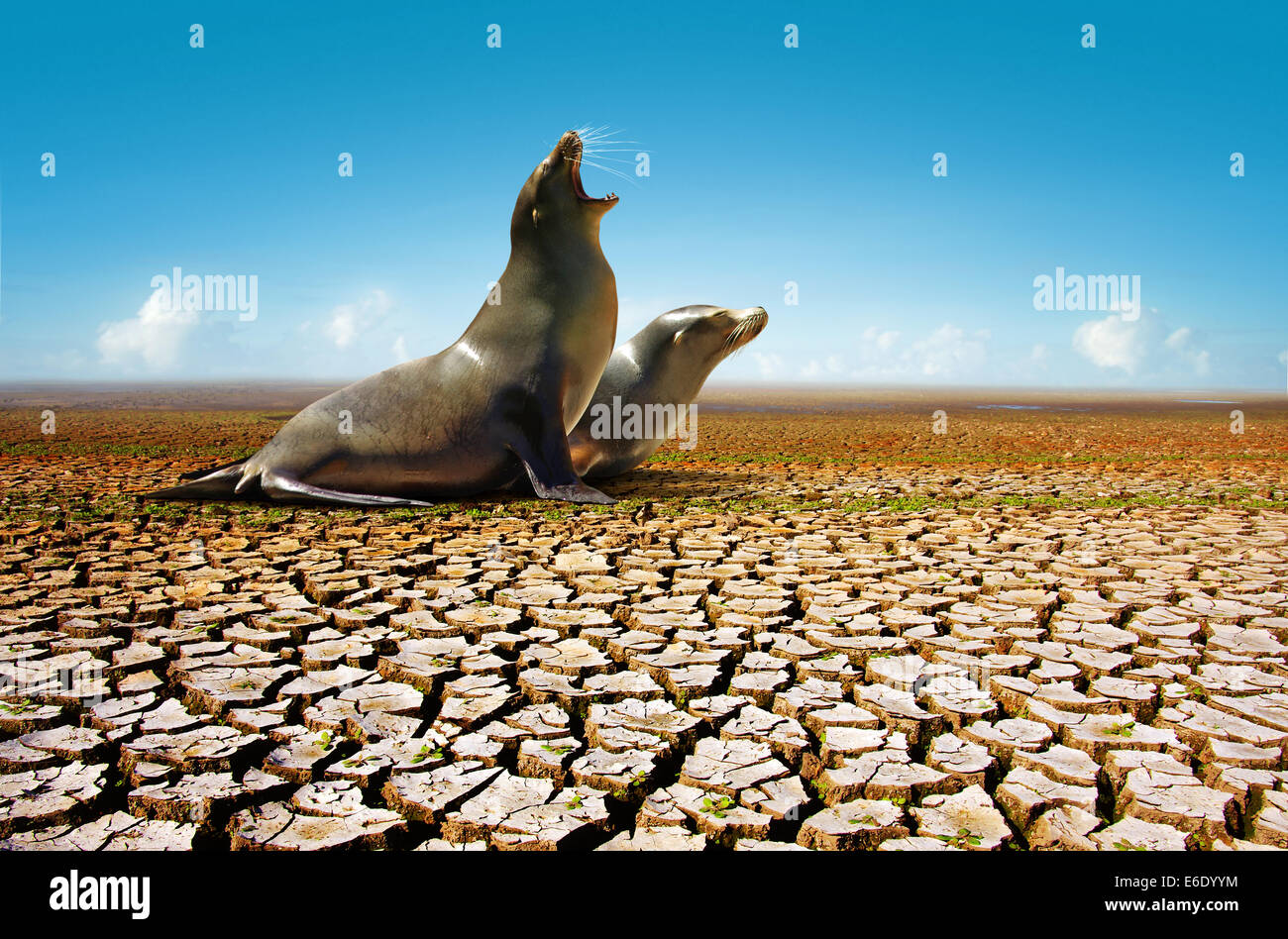 Two seals suffering from the lack of water in a hot and dry environment - Stock Image