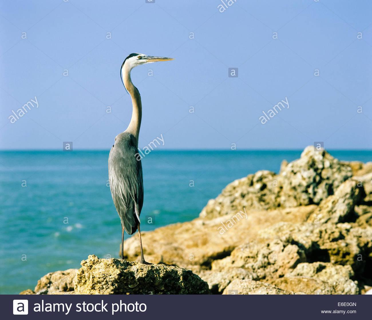 Great Blue Heron on Captiva Island near Fort Meyers in Florida USA Stock Photo