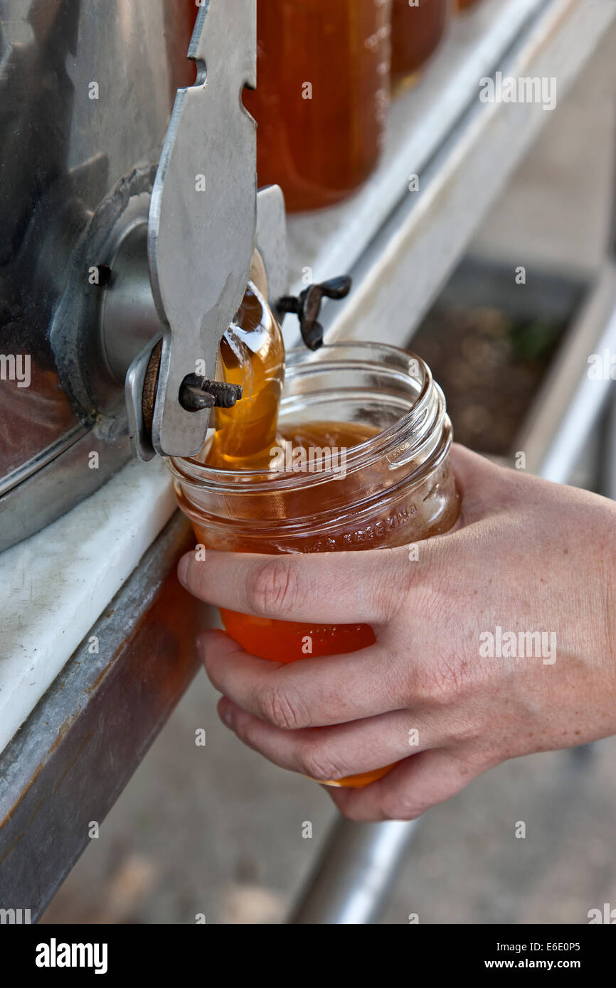 Honey from peach blossom, filling pint jar. - Stock Image
