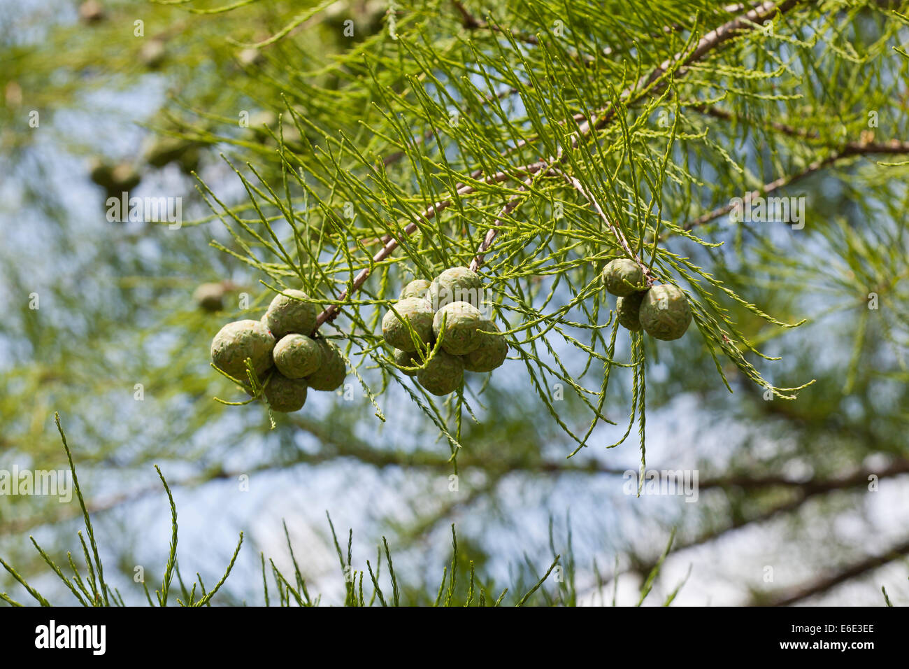 Pond-cypress cones and leaves (Taxodium ascendens) - Stock Image