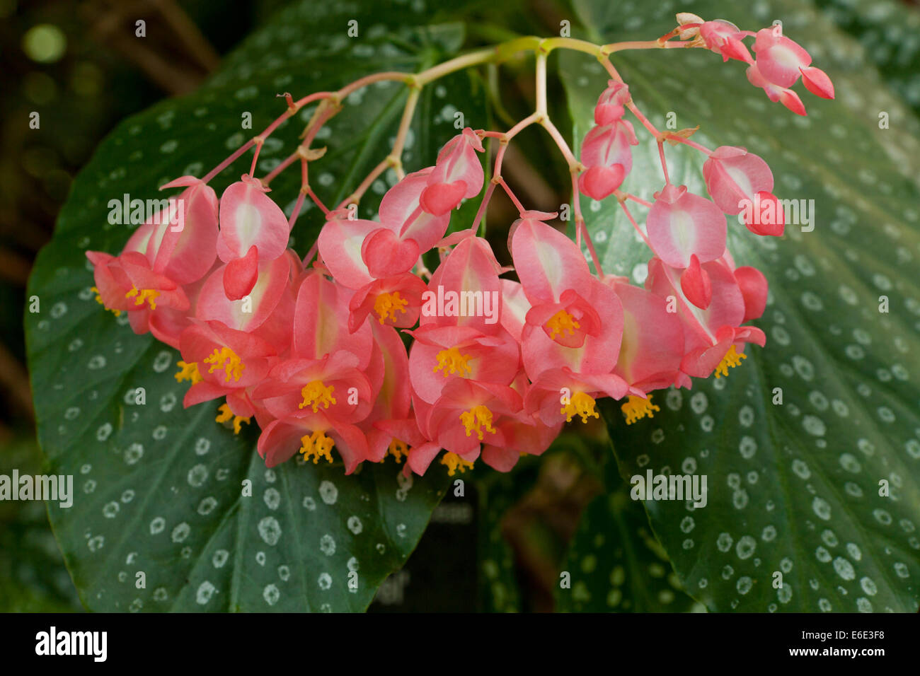 Juanita's Jewel begonia flowers - Stock Image