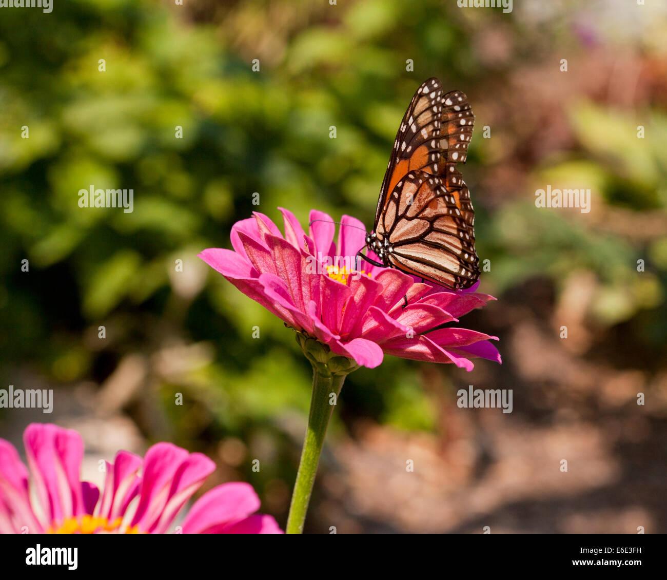 Female Monarch butterfly (Danaus plexippus) sitting on pink daisy flower - USA - Stock Image