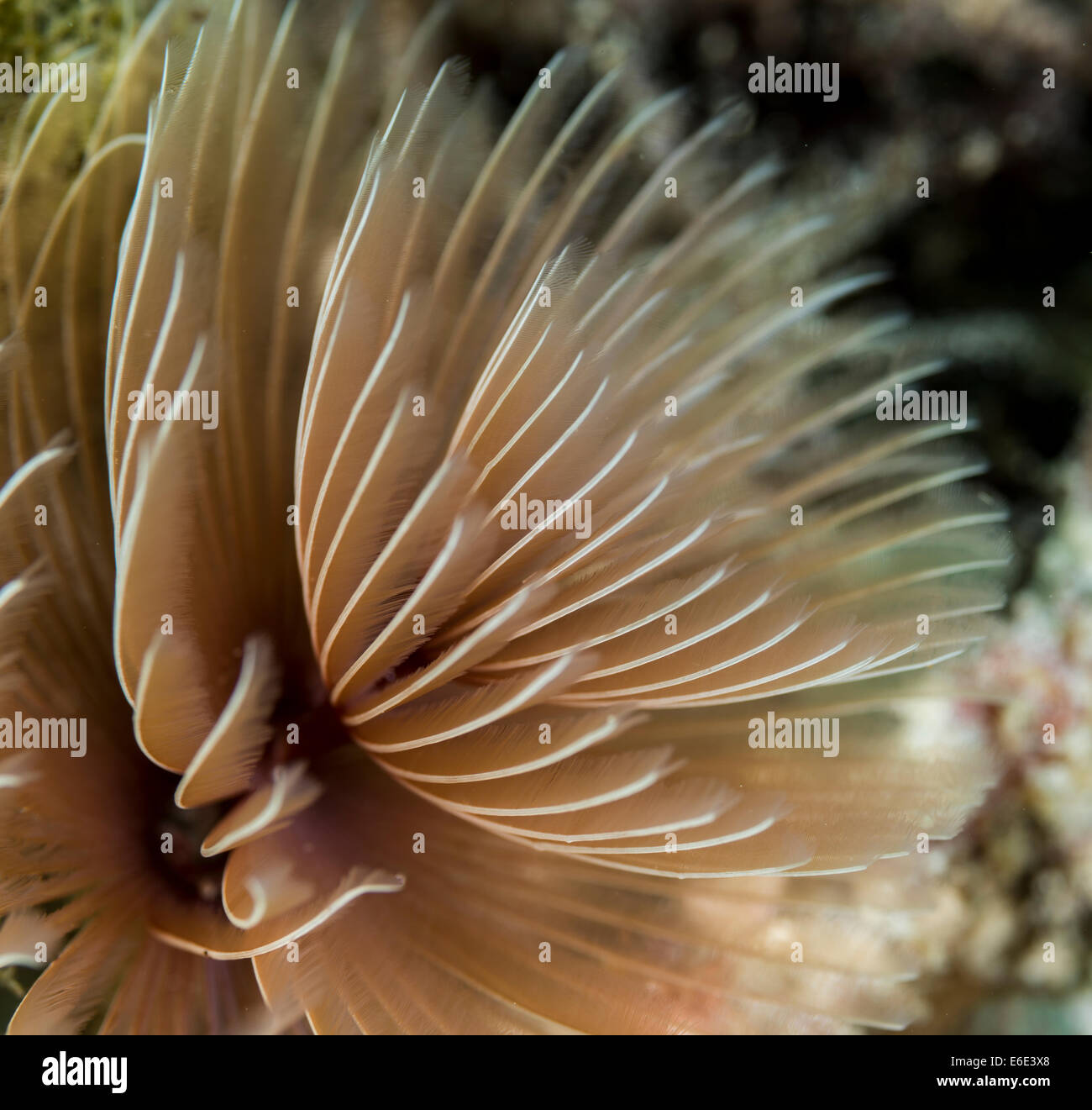 Detail of a tube anemone - Stock Image