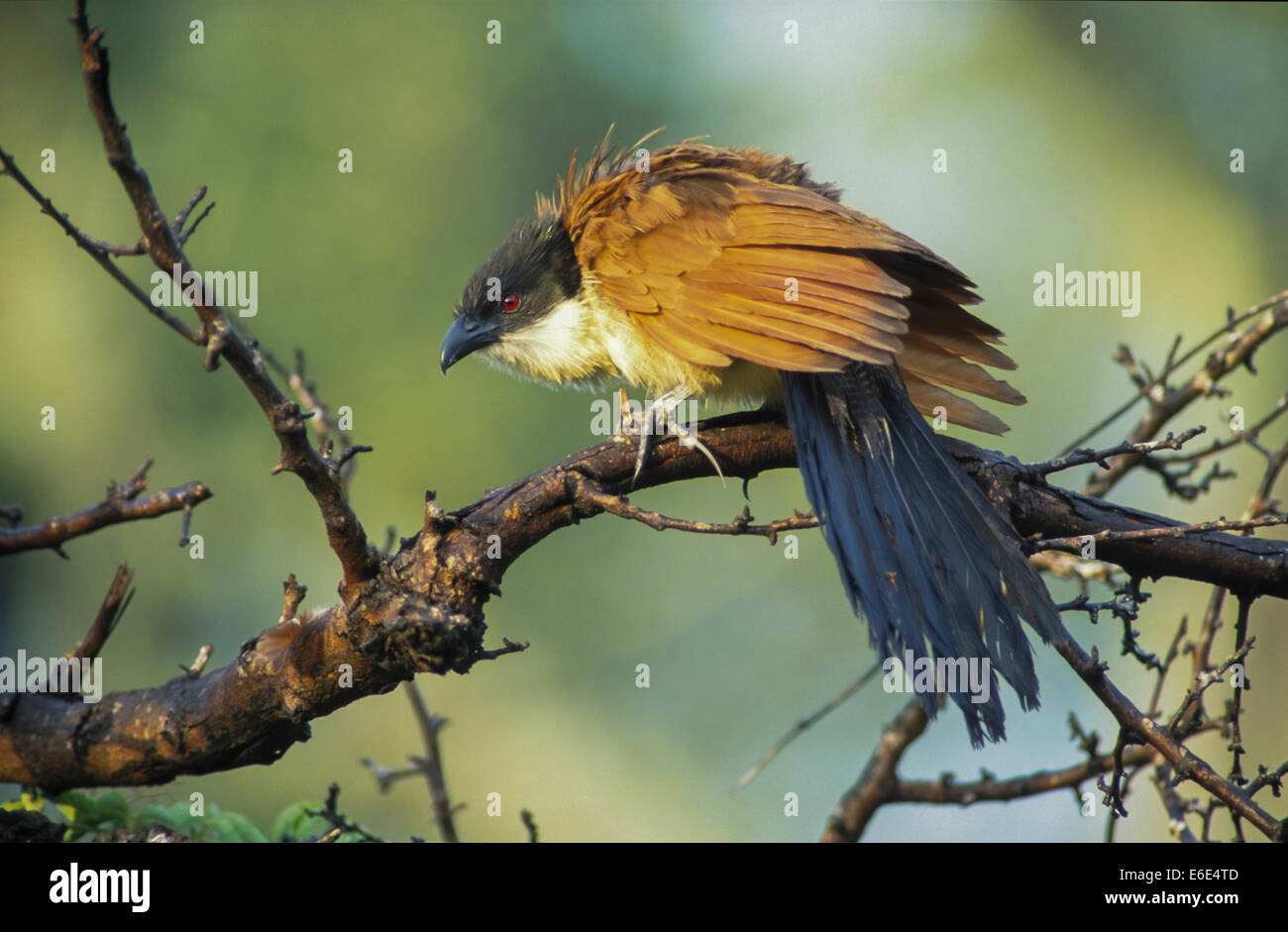 Burchell's Coucal (Centropus burchelli), ruffling up its plumage, Mkuzi Game Reserve, KwaZulu-Natal, South Africa - Stock Image