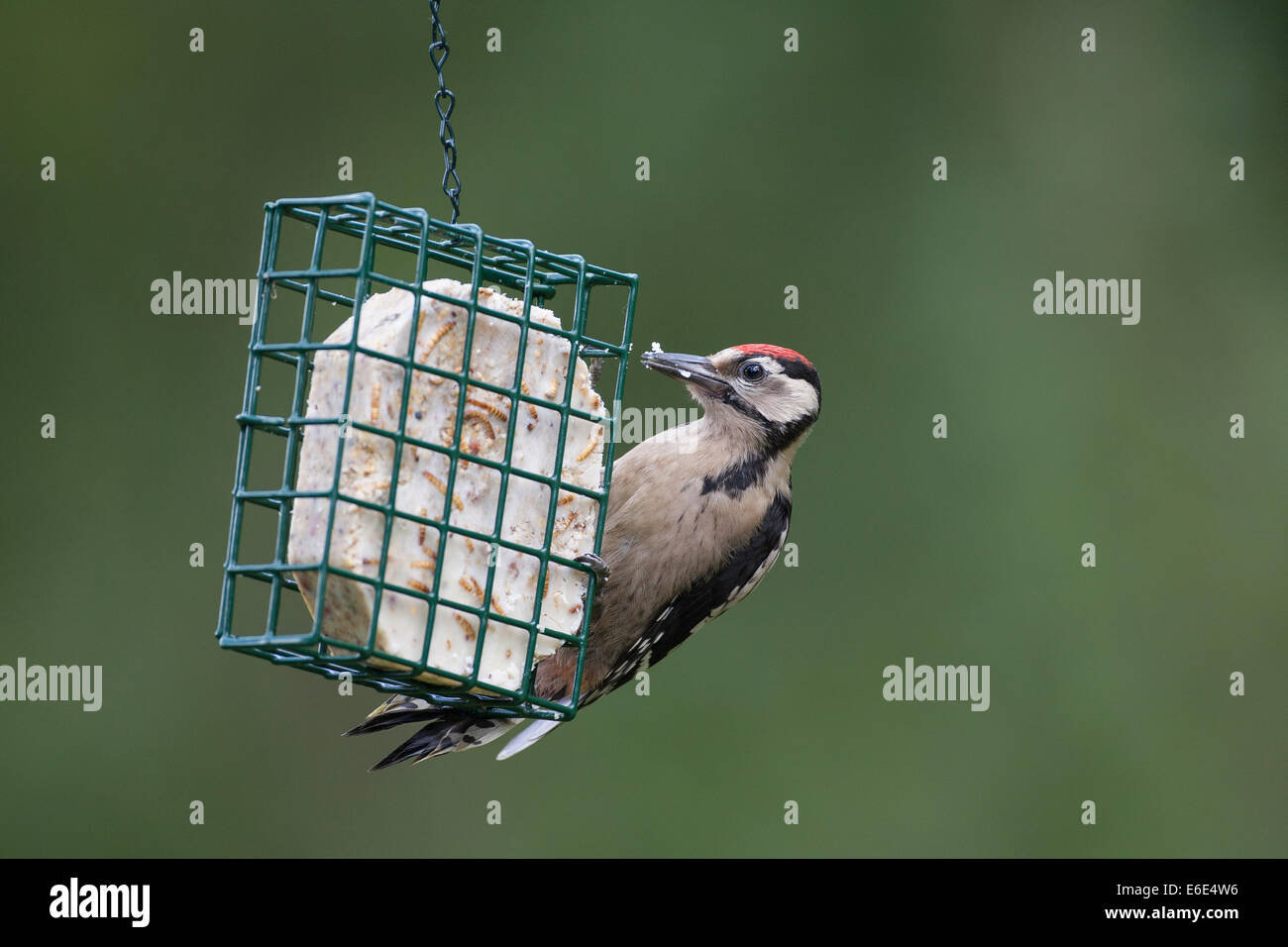 Great Spotted Woodpecker, bird's feeding, Buntspecht, Vogelfütterung, Vogelfutter, Dendrocopos major, Vogelfutter, - Stock Image