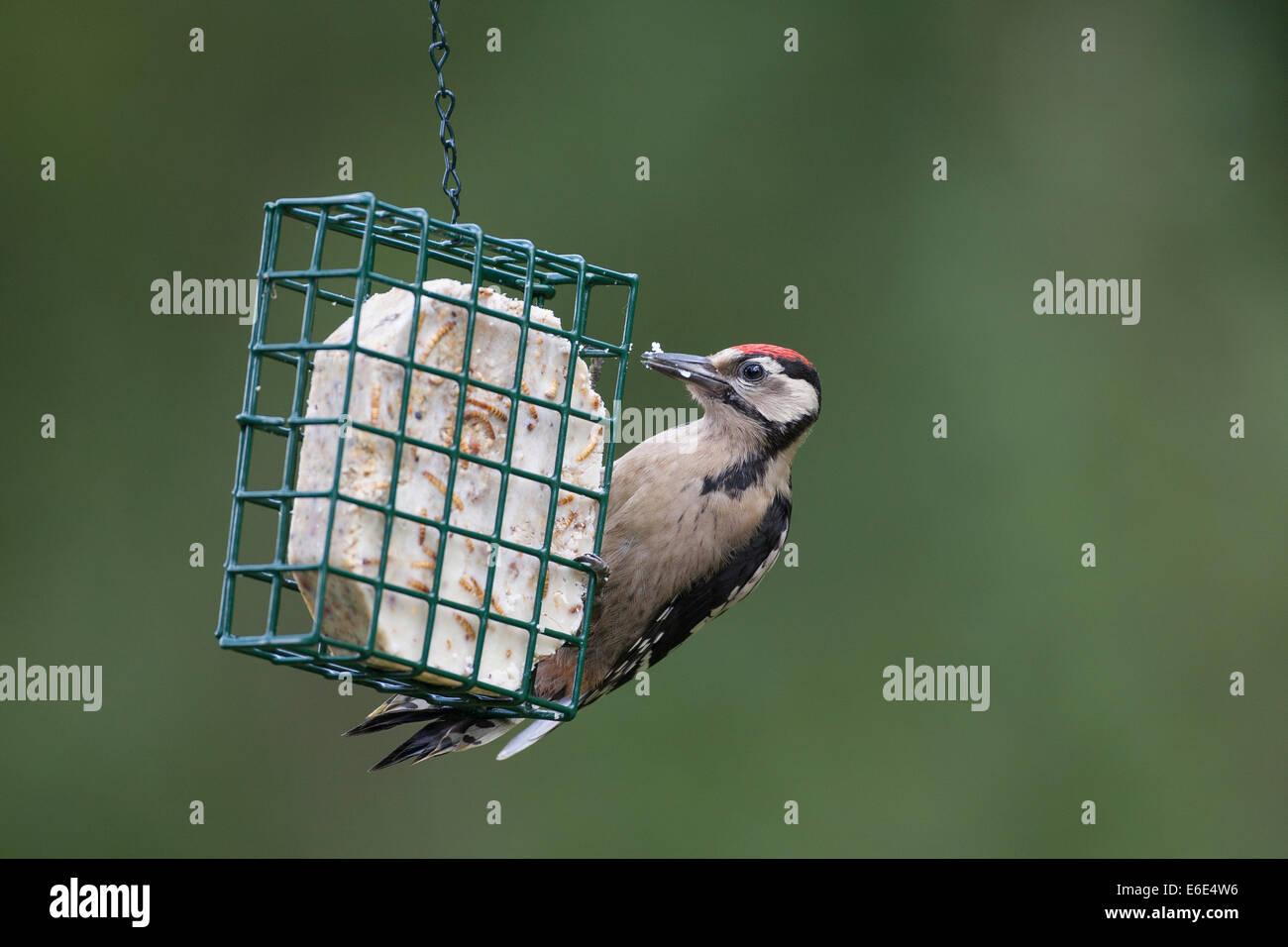 Great Spotted Woodpecker, bird's feeding, Buntspecht, Vogelfütterung, Vogelfutter, Dendrocopos major, Vogelfutter, - Stock Image