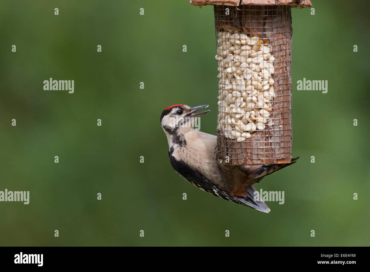 Great Spotted Woodpecker, bird's feeding, Buntspecht, Vogelfütterung, Vogelfutter, Dendrocopos major, Vogelfutter, Stock Photo