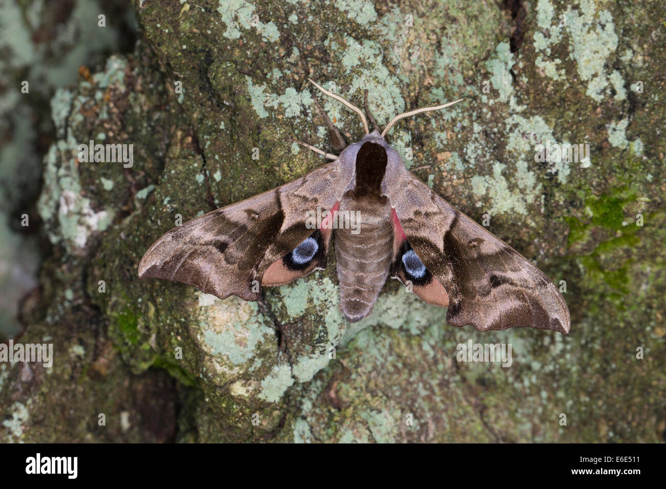 Eyed Hawk-Moth, Eyed Hawkmoth, Abendpfauenauge, Abend-Pfauenauge, Smerinthus ocellata, Smerinthus ocellatus, Schwärmer - Stock Image