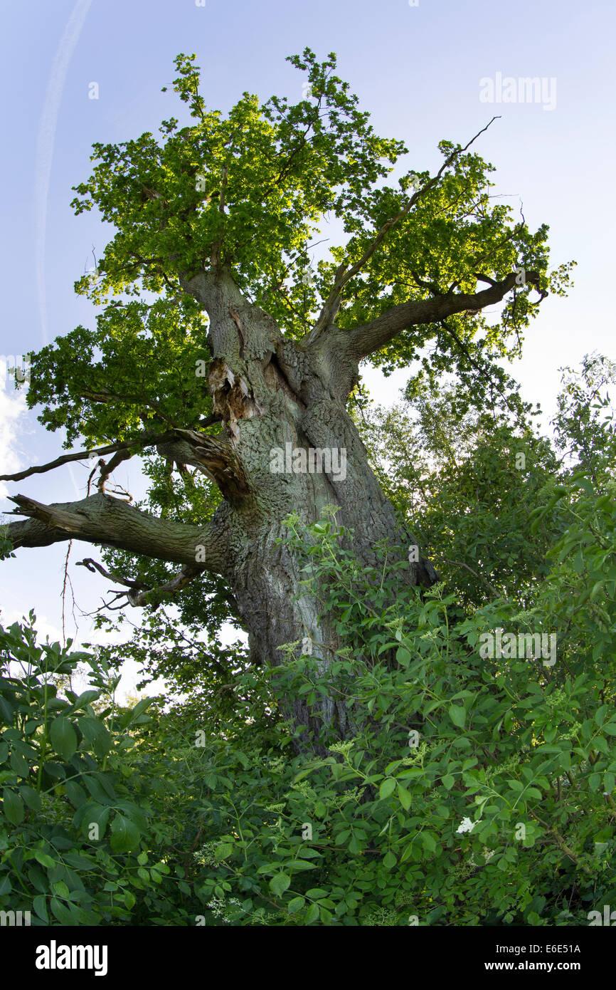 English Oak, oak, oaks, Stiel-Eiche, Stieleiche, Eiche, Eichen, Quercus robur, Chêne commun - Stock Image