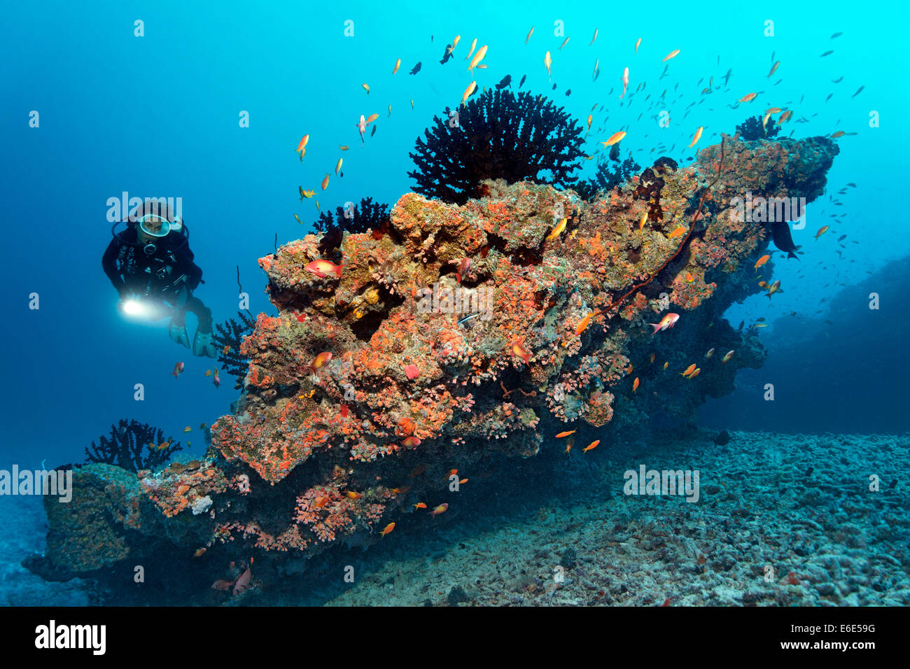 Scuba diver looking at a small coral reef with Black Sun Corals (Tubastrea micranthus), and Orange Cup Corals (Dendrophyllia - Stock Image