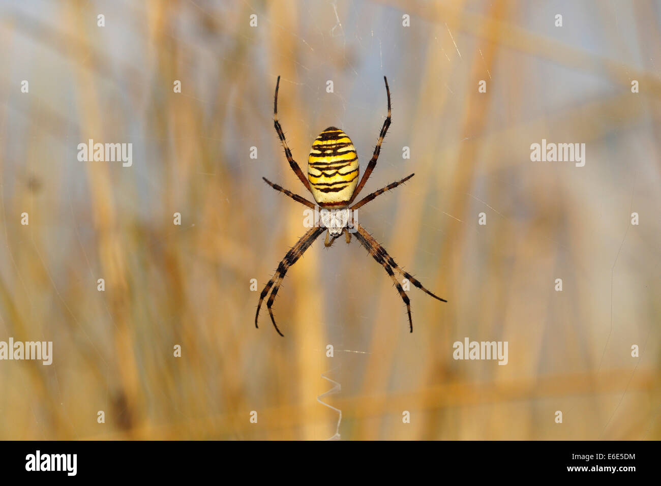 Orb Weaving Spiders Stock Photos & Orb Weaving Spiders Stock Images ...