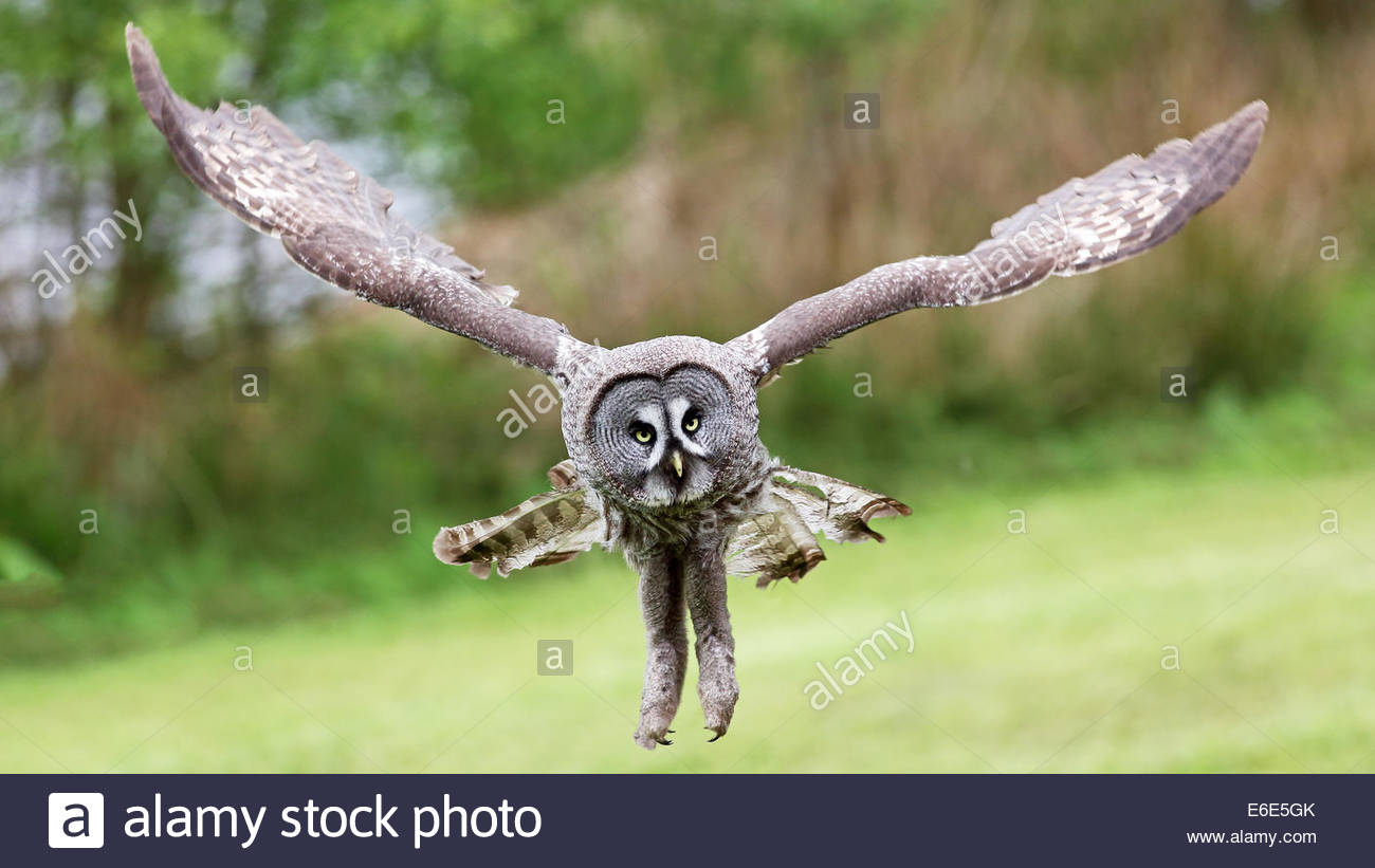 A Great grey owl in flight. - Stock Image