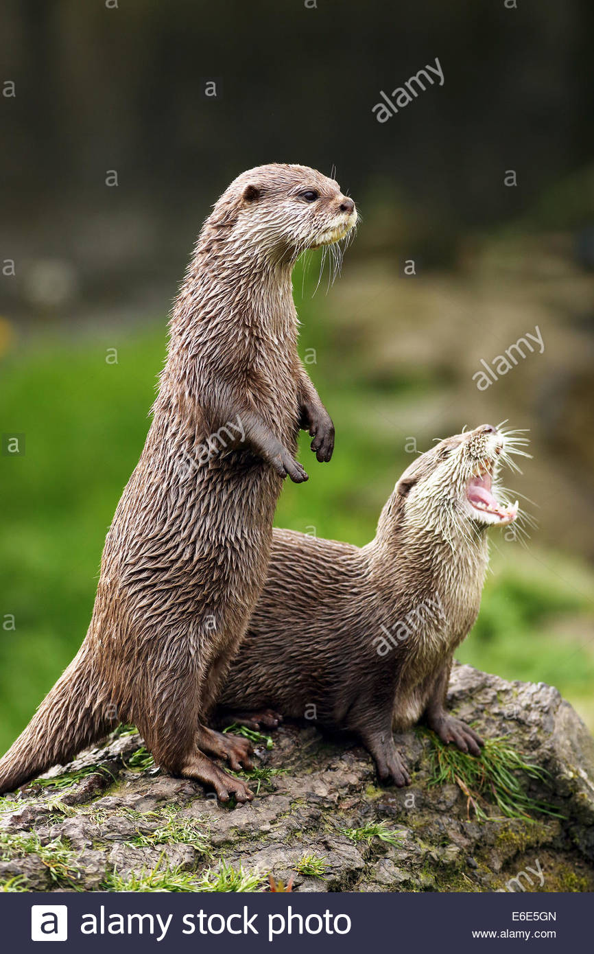 A pair of Asian short clawed Otters on a log. - Stock Image