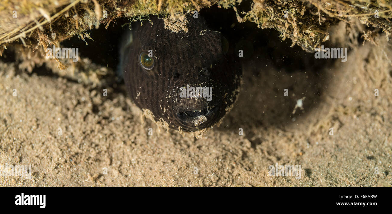 Black pufferfish hiding under a coconut Stock Photo