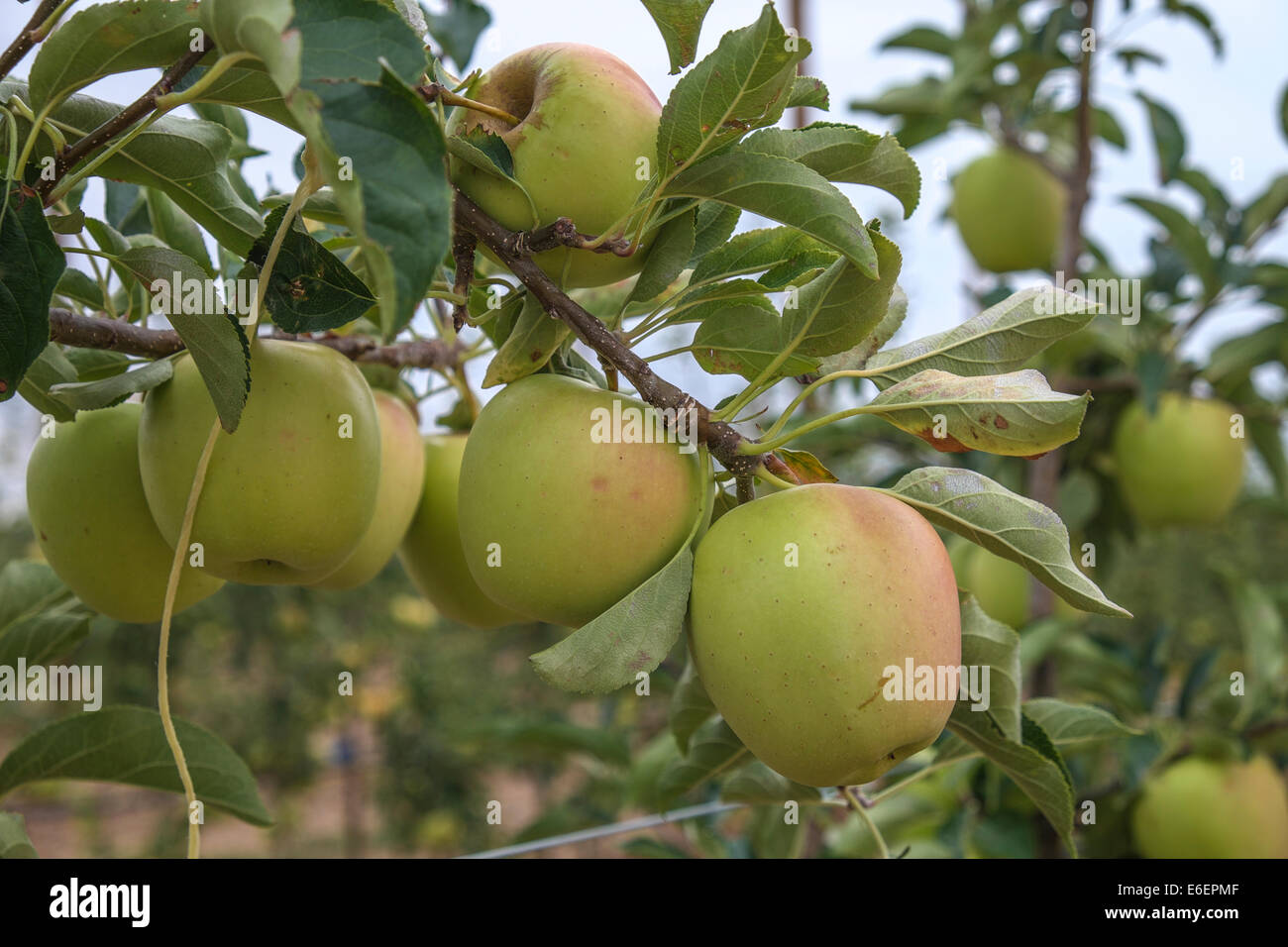 Apples and fruits in Spain don't harvest by Russian Boycott to EU Stock Photo