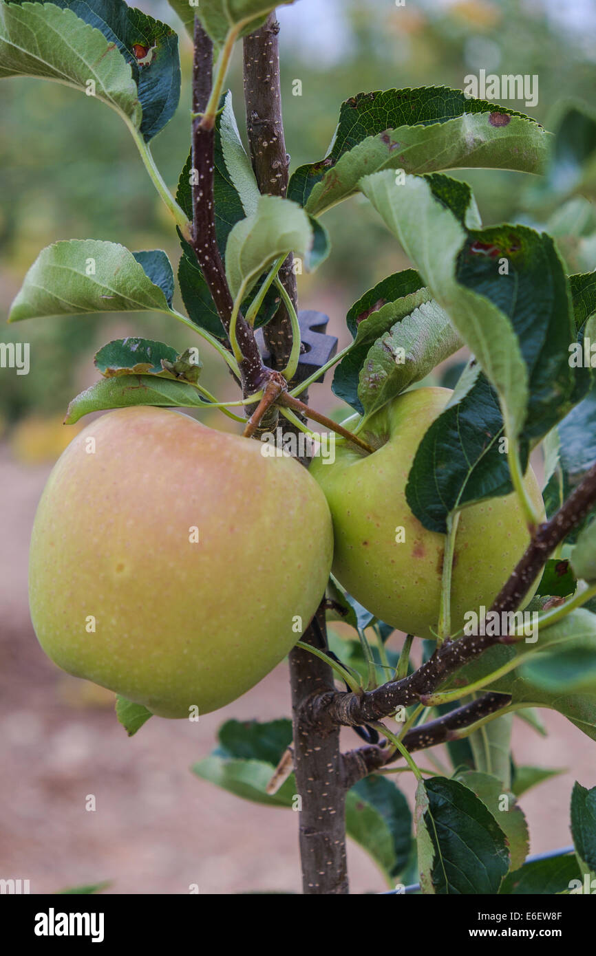 Apples and fruits in Spain don't harvest by Russian Boycott to EU - Stock Image