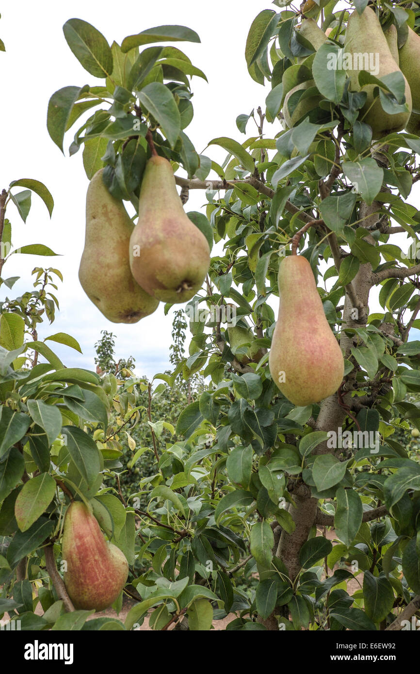 Pear and fruits in Spain don't harvest by Russian Boycott to EU - Stock Image