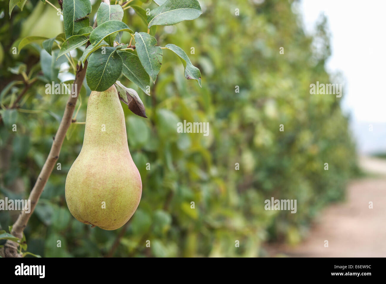 Pear and fruits in Spain don't harvest by Russian Boycott to EU Stock Photo