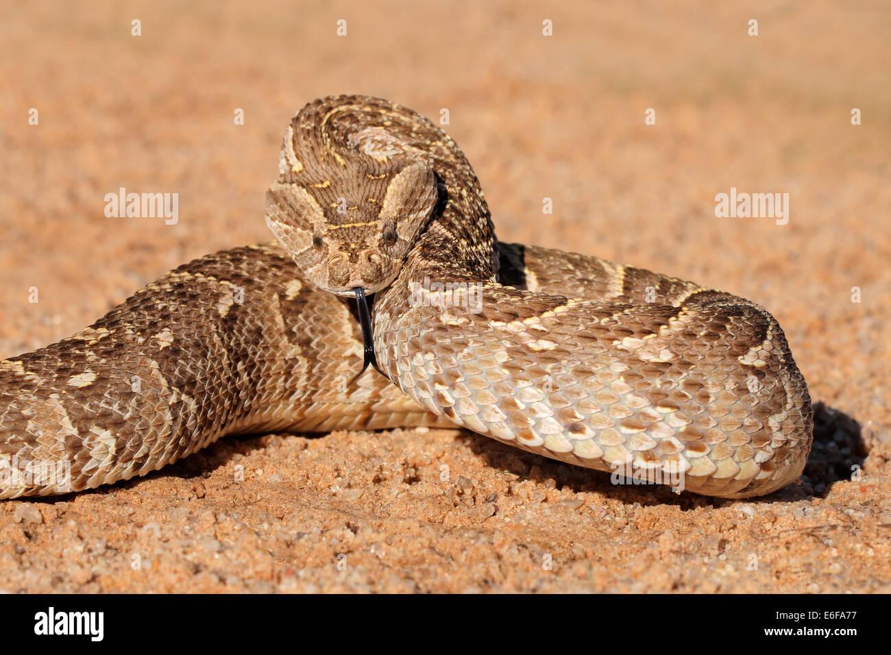 Poisonous Snake Africa Stock Photos Amp Poisonous Snake