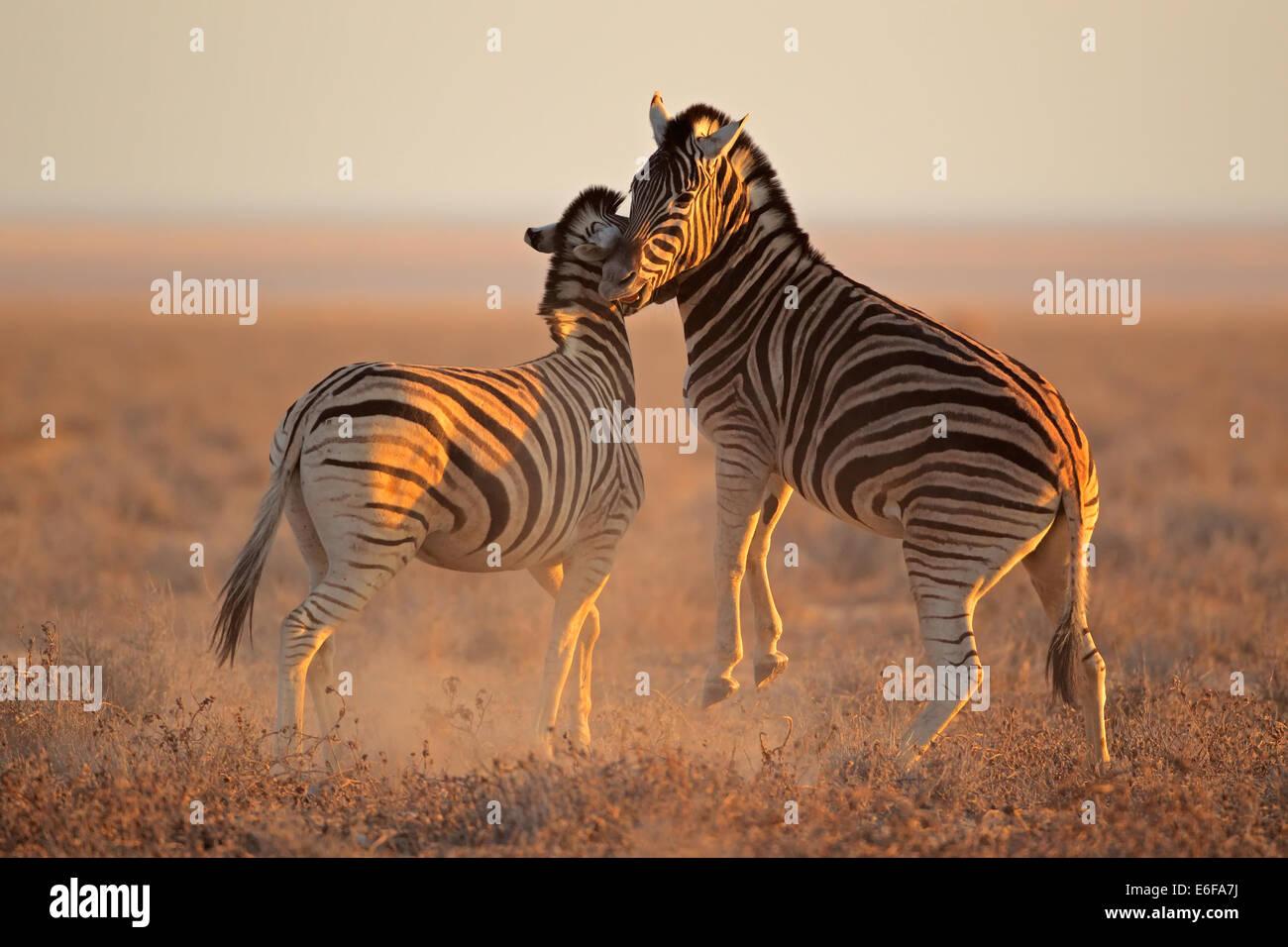 Two Plains (Burchells) Zebra stallions (Equus burchelli) fighting, Etosha National Park, Namibia - Stock Image