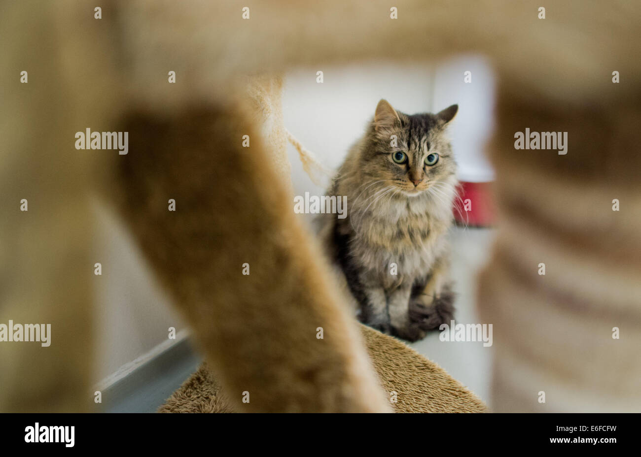 Hanover, Germany. 22nd Aug, 2014. A cat sits in a cat house in the animal centre in Hanover, Germany, 22 August - Stock Image