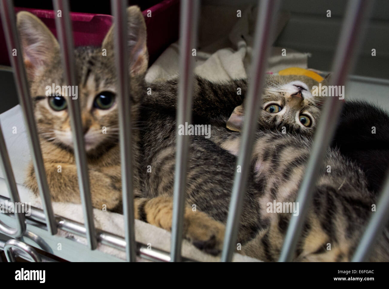 Hanover, Germany. 22nd Aug, 2014. A nine months old cat baby which was found in a cardbox in a supermarket dustbin - Stock Image