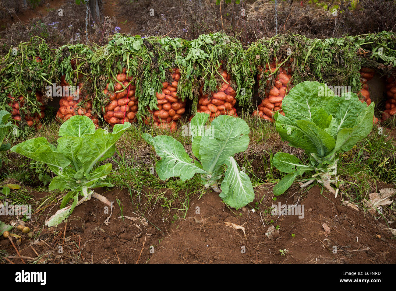 Sacks of potatoes next to a field with Tronchuda cabbage in a remote part of Madeira. - Stock Image