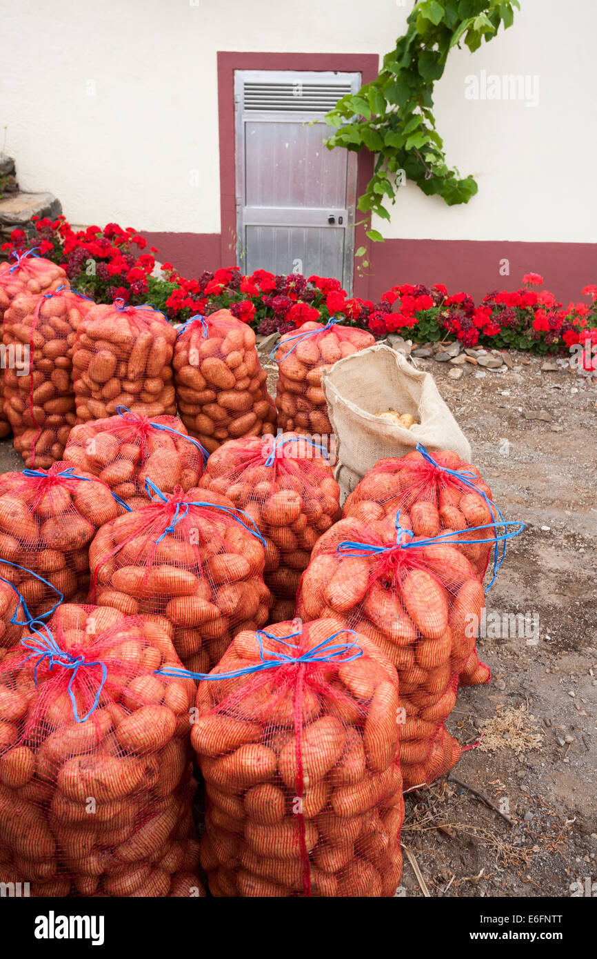 Potatoes in leno sacks ready for sale to a wholesaler's agent. - Stock Image