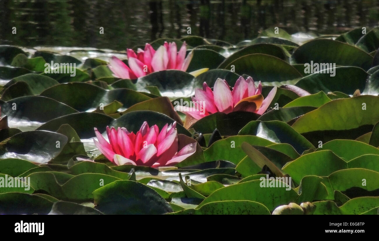 Water Lilies (Nymphaeaceae) are flowering aquatic plants that root in soil with the leaves and flowers floating - Stock Image