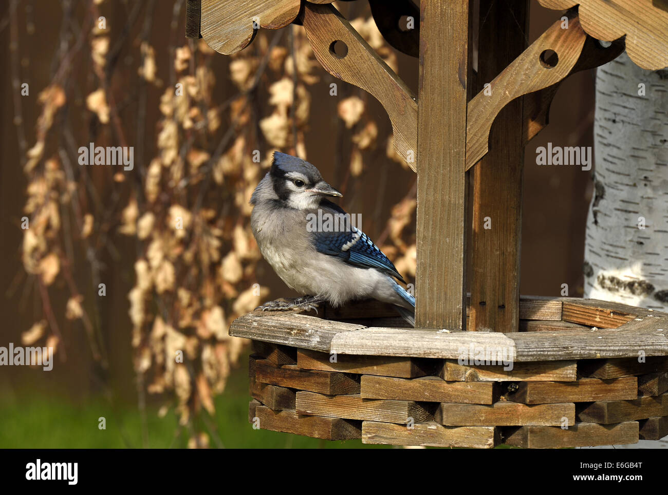 An adult Blue Jay perched on the edge of a bird feeder Stock Photo