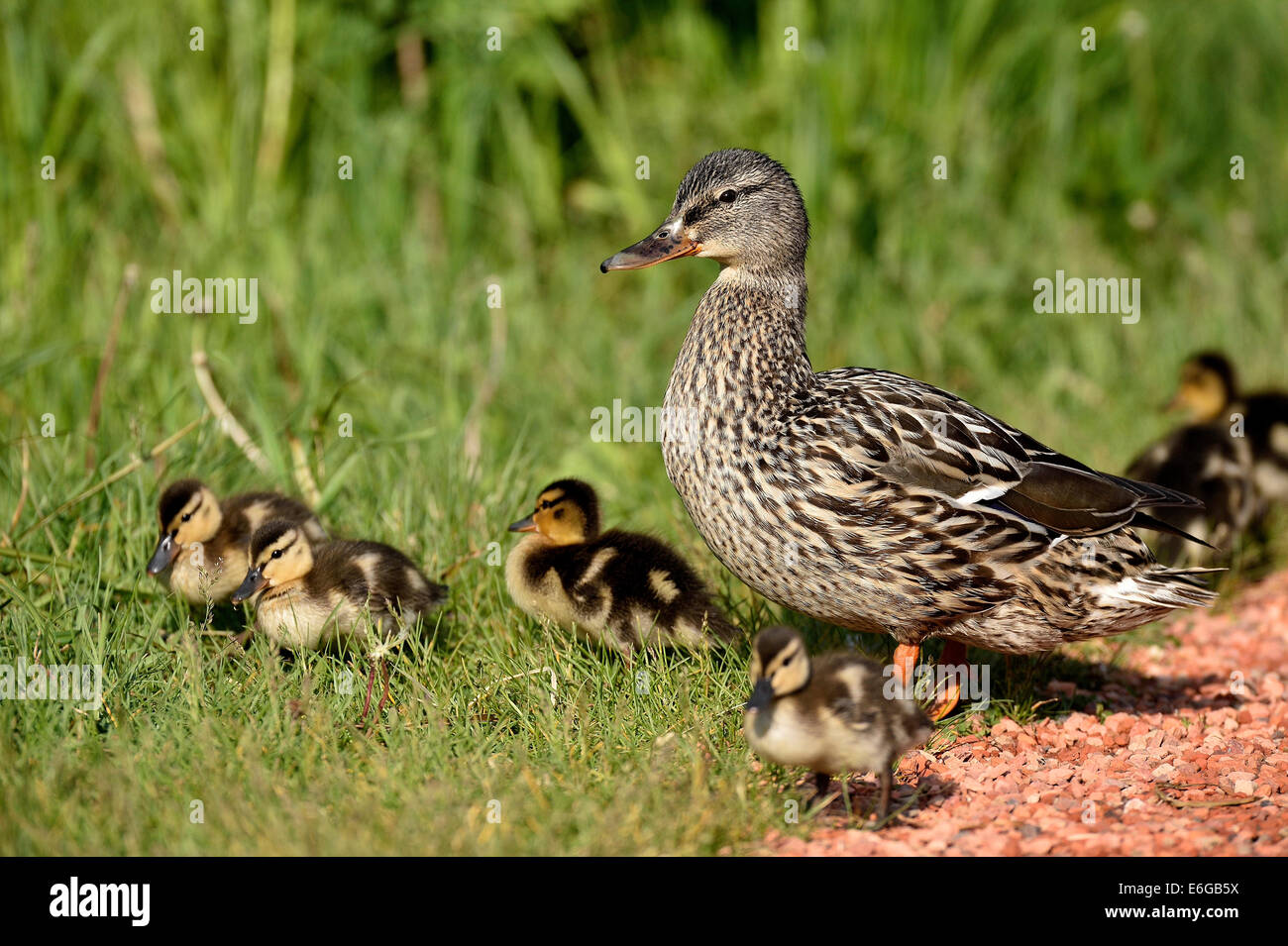 A female Mallard Duck with a brood oF new ducklings - Stock Image