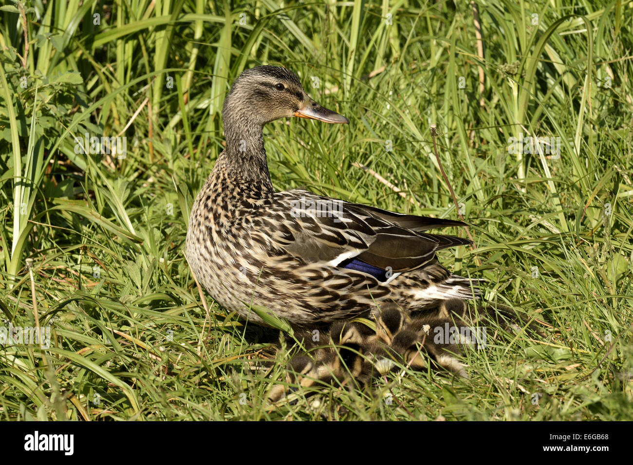 A female Mallard Duck Anas platyrhynchos; with a brood of new ducklings - Stock Image